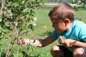 young boy picking blueberries